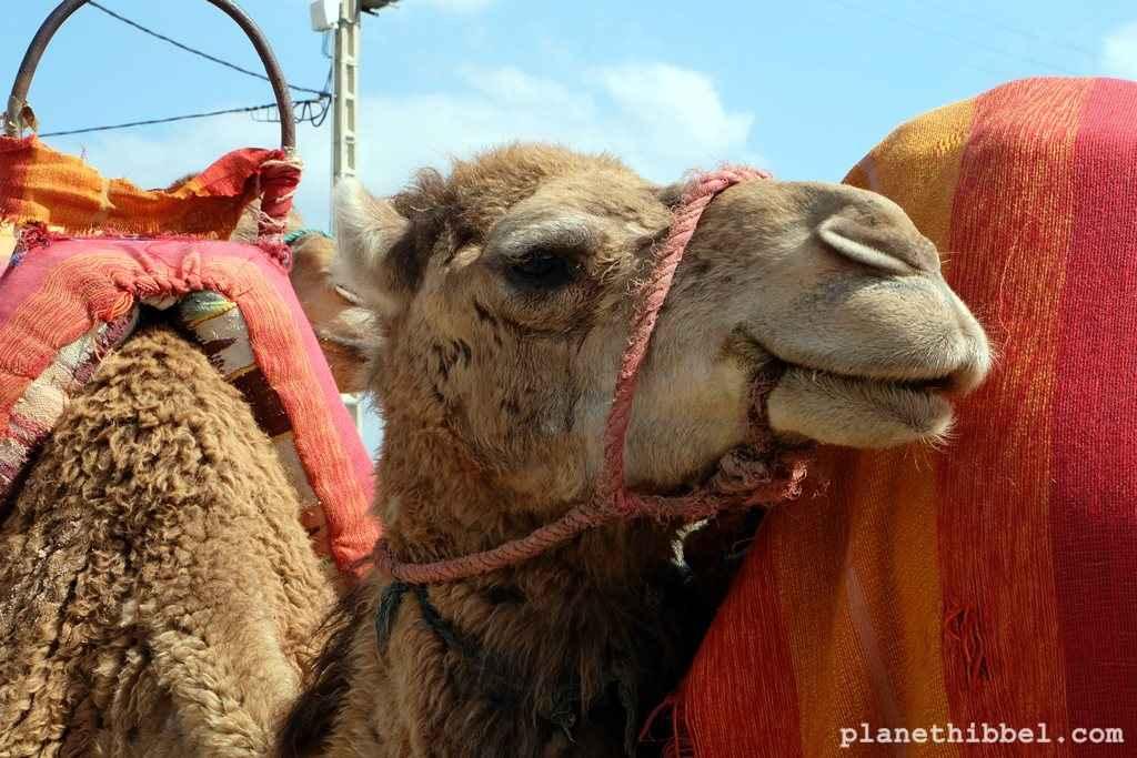 Kamelreiten3