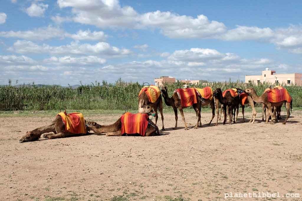Kamelreiten6
